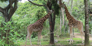 Taman Safari, Indonesia